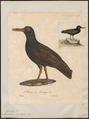 Haematopus ater - 1825-1834 - Print - Iconographia Zoologica - Special Collections University of Amsterdam - UBA01 IZ17300021.tif