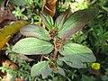Hairy spurge (Euphorbia hirta) 2.jpg