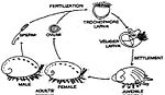 Haliotis cracherodii life cycle.jpg