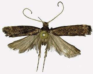 <i>Halolaguna sublaxata</i> species of insect