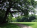 Hampstead Heath oak tree - geograph.org.uk - 453866.jpg