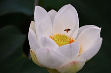 Nelumbo Nucifera Wikipedia La Enciclopedia Libre