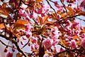 Hanami - Sakura festival Japan 01.jpg