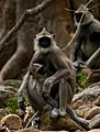 Hanuman Langur feeding child by N. A. Naseer.jpg