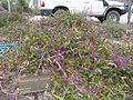 Hardenbergia violacea plant10 ANBG ST - Flickr - Macleay Grass Man.jpg