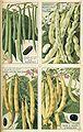 Haricots - Plantes potagères Vilmorin-Andrieux et Cie.jpg