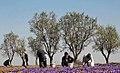 Harvesting saffron, Gonabad (13960928000822636492949536585994 96363).jpg