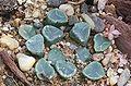 Haworthia truncata var maughanii.jpg