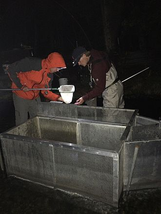 Cook Inlet Aquaculture Association - CIAA staff count sockeye salmon smolt as they migrate out of Hidden Lake on the Kenai Peninsula.