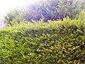 Hedge09.jpg