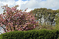 Hedge and trees on Downhall Road at Matching Green, Essex, England.jpg