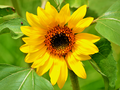 Helianthus annuus 00001.png