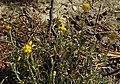 Helichrysum stoechas subsp barrelieri RF.jpg
