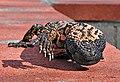 Heloderma suspectum -Arizona-Sonora Desert Museum-8e.jpg