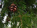 Hemlock foliage and cone.jpg