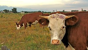 Environmental issues in Uruguay - Cattle Farm in Uruguay