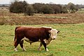 Hereford bull in a field beside the B4452 - geograph.org.uk - 1569104.jpg