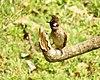 Himalayan Bulbul scientific name Pycnonotus leucogenys at Sattal Kumaon India DSCN1231 1.jpg