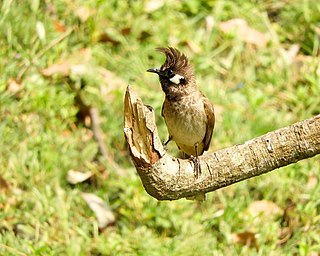 Himalayan Bulbul scientific name Pycnonotus leucogenys at Sattal Kumaon India DSCN1231 1.jpg