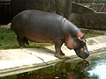 Hippopotamus at Zoo park in Visakhapatnam.JPG