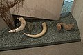 Hoard of three mammoth tusks, Welcome to the Neandertals, Brno, 187927.jpg