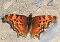 Hoary Comma - Polygonia gracilis, Takkakkaw Falls, Yoho National Park, British Columbia, Canada (36908840375).jpg