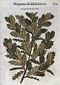 Holly branch, coloured woodcut.Mattioli 1568 Wellcome L0022932.jpg