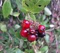 Honeysuckle or Woodbine (Lonicera pericymenum) fruits, Sourlie Wood, Irvine, North Ayrshire.jpg