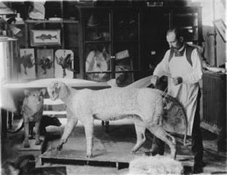 William Temple Hornaday - Hornaday preparing a tiger for display.