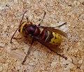 Hornet Vespra Crabro - Flickr - gailhampshire (1).jpg