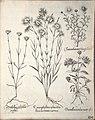 Hortus Eystettensis, 1640 (BHL 45339 336) - Classis Aestiva 184.jpg