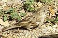 House sparrow 2018 02.jpg