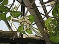 Hoya australis2.jpg