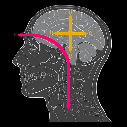 The anatomical axes of orientation of the human brain are at odds with the anatomical axes of the human body in the standard anatomical position. Red axis shows how the head bent forward as the back pointed upwards: c: Caudal r: Rostral Yellow axes show the conventions for naming directions in the brain itself: c: Caudal (though not tail direction), d: Dorsal r: Rostral (effectively unchanged) v: Ventral (though not belly direction) Human brain anatomical axes alterations.jpg