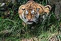 Hunting tiger edit1.jpg