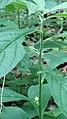 Hybanthus concolor 0602181445a.jpg