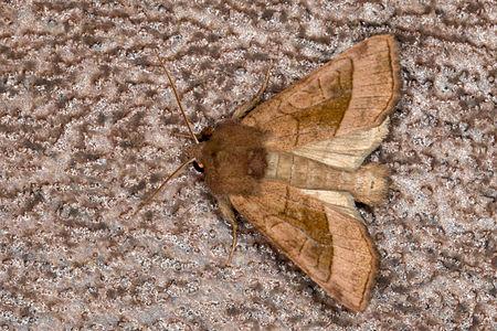 Hydraecia micacea, Lodz(Poland)01(js).jpg