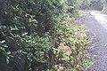 Hydrangea macrophylla (Thunb.) Ser. (AM AK361280-7).jpg