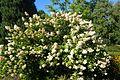 Hydrangea paniculata 'Grandiflora' kz1.jpg