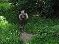 Hyena čabrakova.jpg