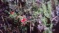 Hygrocybe aphylla Læssøe & Boertm 972606.jpg