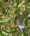 Hygrophila schulli (Kolshinda) in Narshapur, AP W2 IMG 0927.jpg