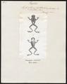 Hyla leucophyllata - 1700-1880 - Print - Iconographia Zoologica - Special Collections University of Amsterdam - UBA01 IZ11500213.tif
