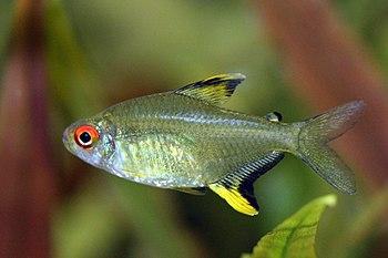 Hyphessobrycon pulchripinnis - Zitronensalmler...