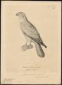 Hypotriorchis ardesiacus - 1700-1880 - Print - Iconographia Zoologica - Special Collections University of Amsterdam - UBA01 IZ18200193.tif