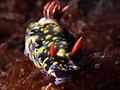 Hypselodoris infucata (14413523993).jpg