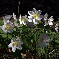 IMG 4987-Anemone nemorosa.jpg