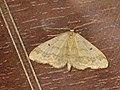 Idaea biselata - Small fan-footed wave - Малая пяденица точечная (40263307394).jpg