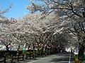 Ieyama-Sakura.JPG