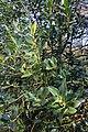 Ilex aquifolium Prague BG 2016 3.jpg
